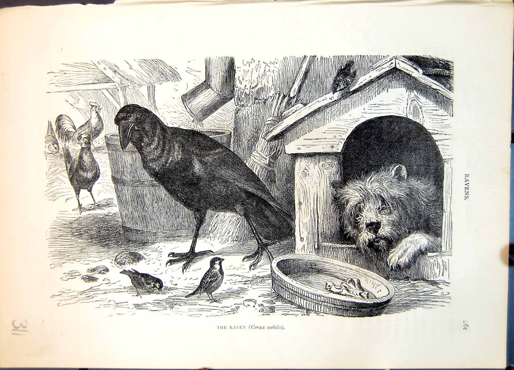 [Print Raven Corax Nobilis Farmyard Setting Dog Poultry Sparrows C1874 311G363 Old Original]