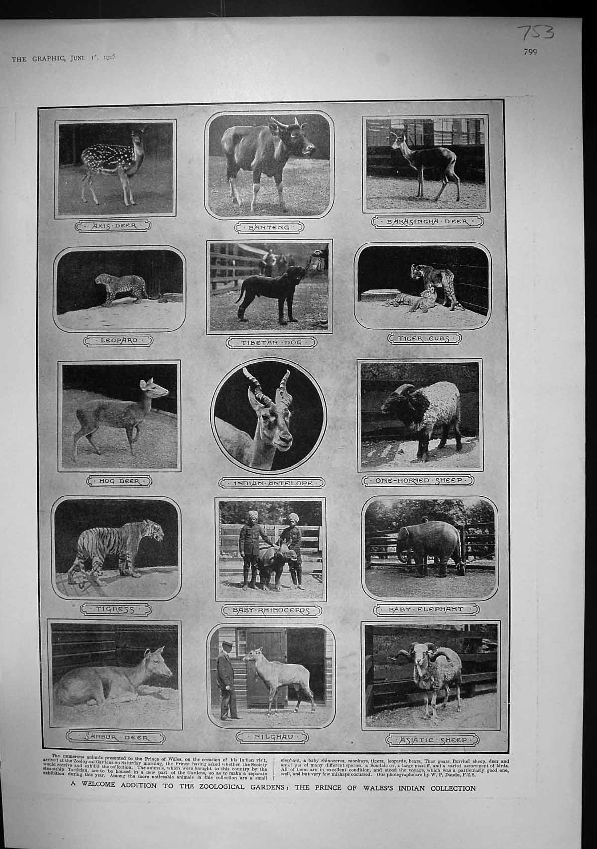 [Print 1906 Prince Wales Zoo Rhinoceros Tigress Dog Elephant House Commo 753J336 Old Original]