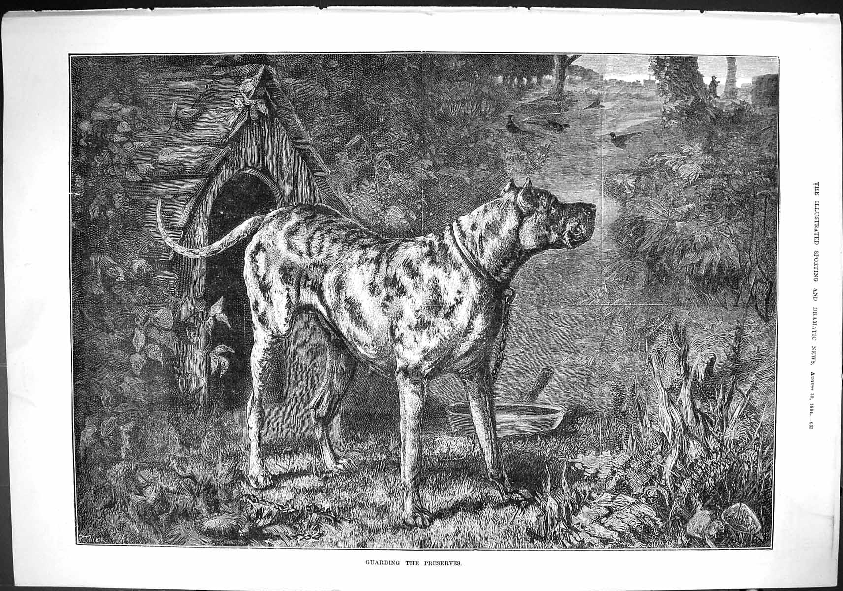 [Print Sporting Dramatic News 1884 Guarding Preserves Dog Pheasant Birds 633J421 Old Original]
