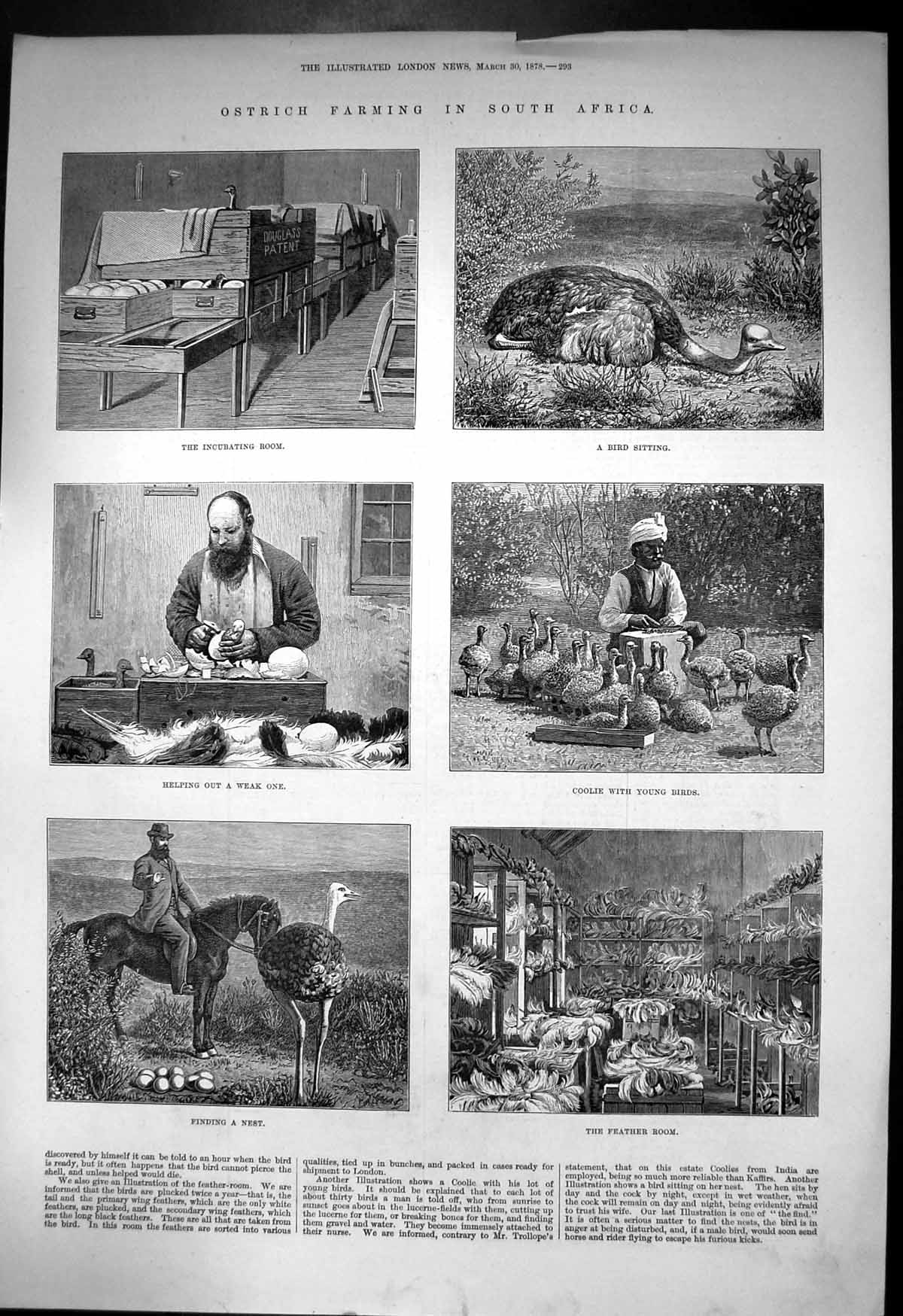 [Print Ostrich Farming South Africa Incubating Room Feather Room 1878 742J682 Old Original]