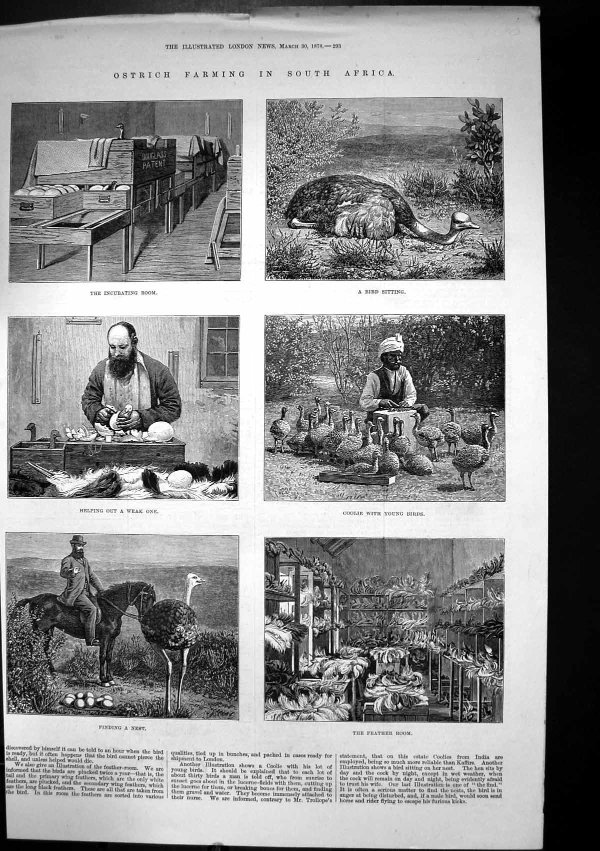 [Print Ostrich Farming South Africa Incubating Room Feather Room1878 252J683 Old Original]