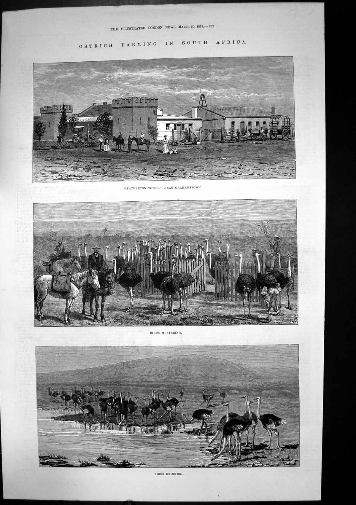 [Print Ostrich Farming South Africa Heatherton Towers Birds 1878 253J683 Old Original]