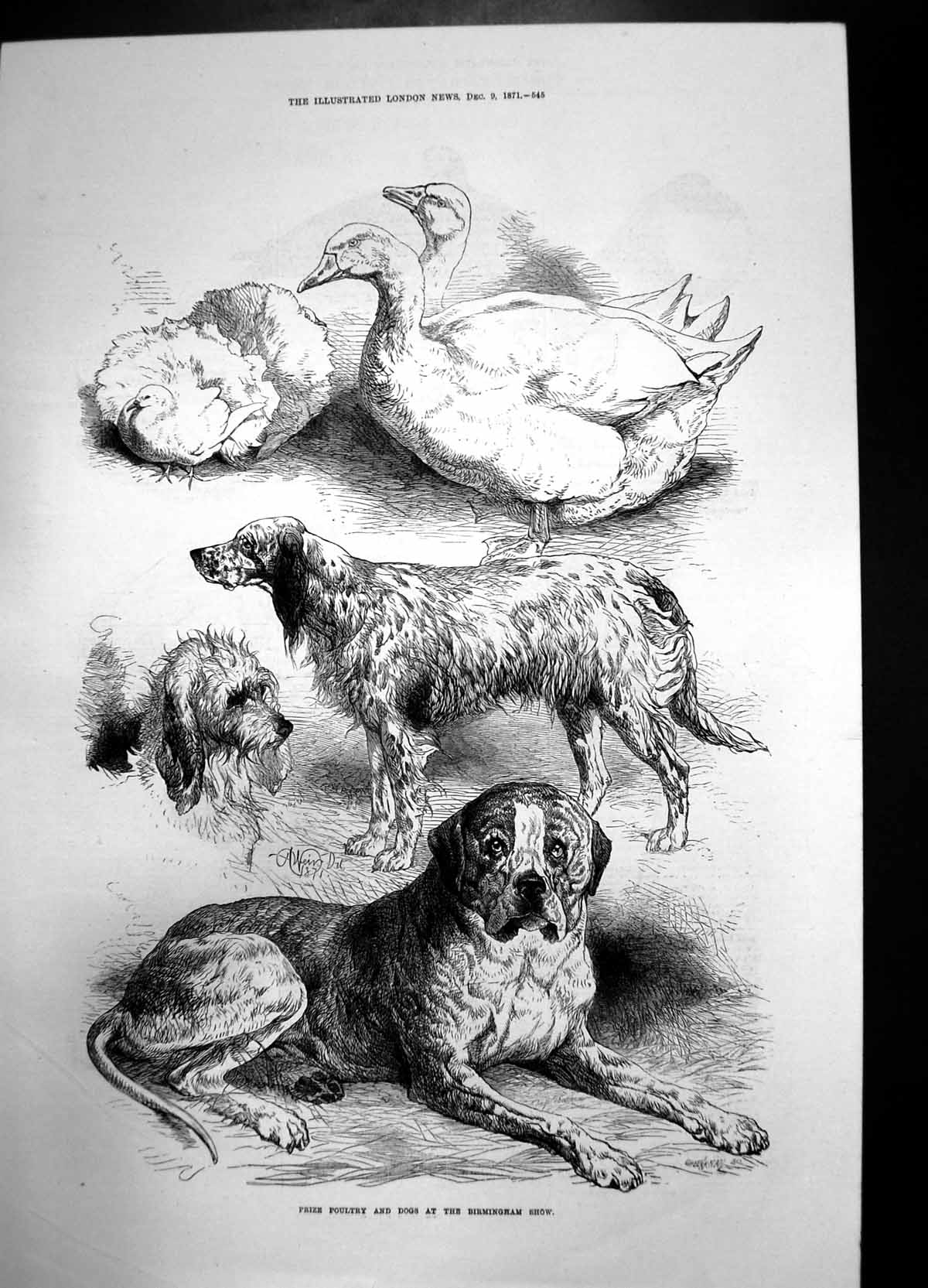 [Print Prize Poultry And Dogs Birmingham Show 1871 Birds Curzon Hall Ref 866J735 Old Original]