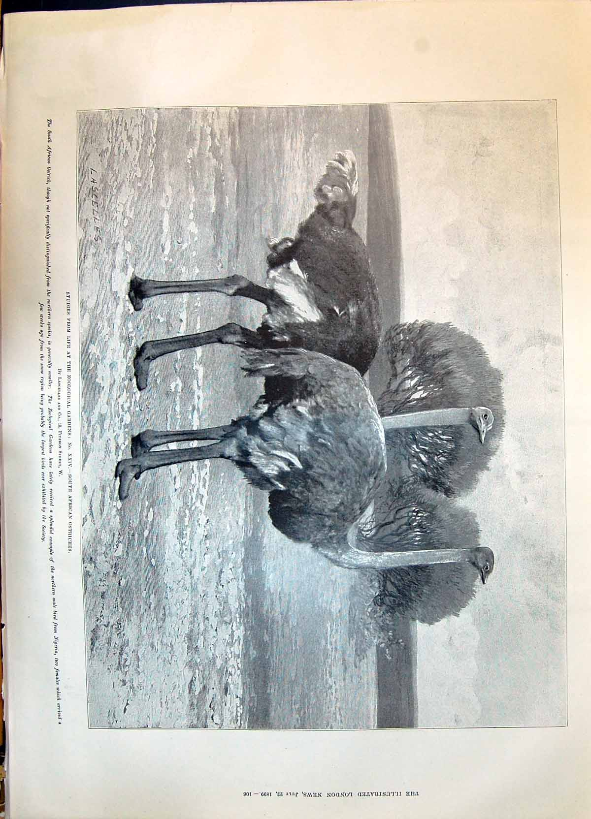 [Print 1899 South Africa Ostriches Zoological Gardens Dogs Playing Beach 106P215 Old Original]