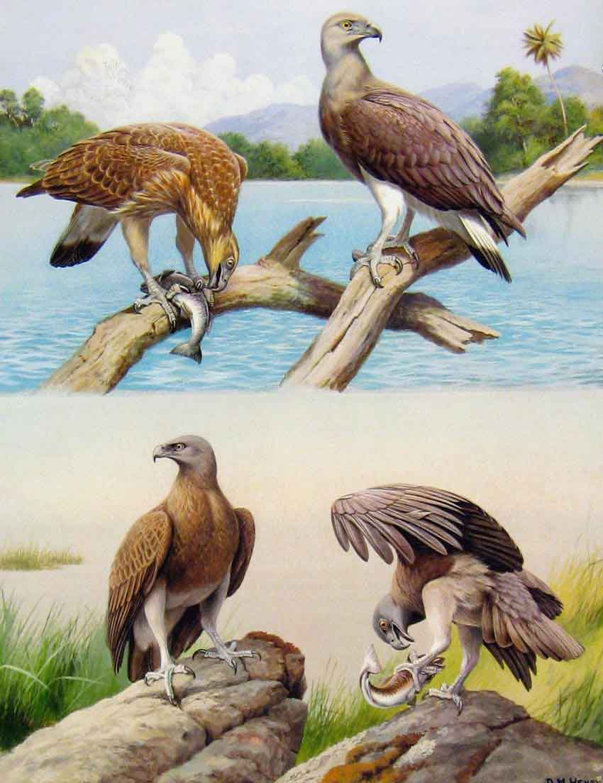 Old-Antique-Print-Eagles-Hawks-amp-Falcons-Grey-Headed-Fishing-Eagle-Plate