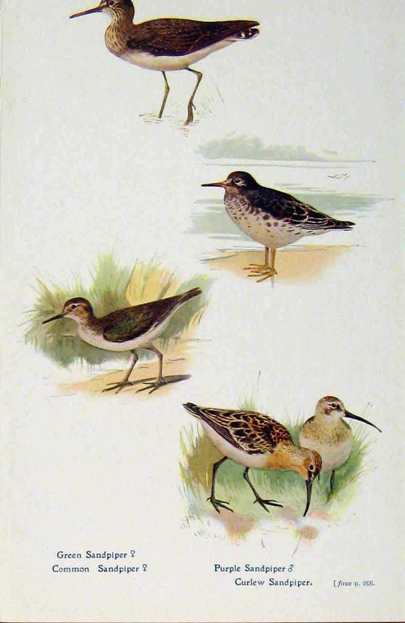 Old-Antique-Print-British-Birds-By-W-Foster-Green-Purple-Sandpiper-C1910-20th