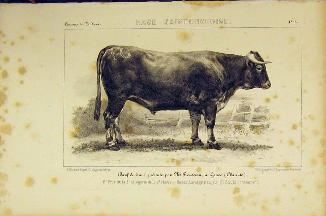 Original-Old-Antique-Print-Race-Saintongeoise-Cattle-1853-French-Lithograph