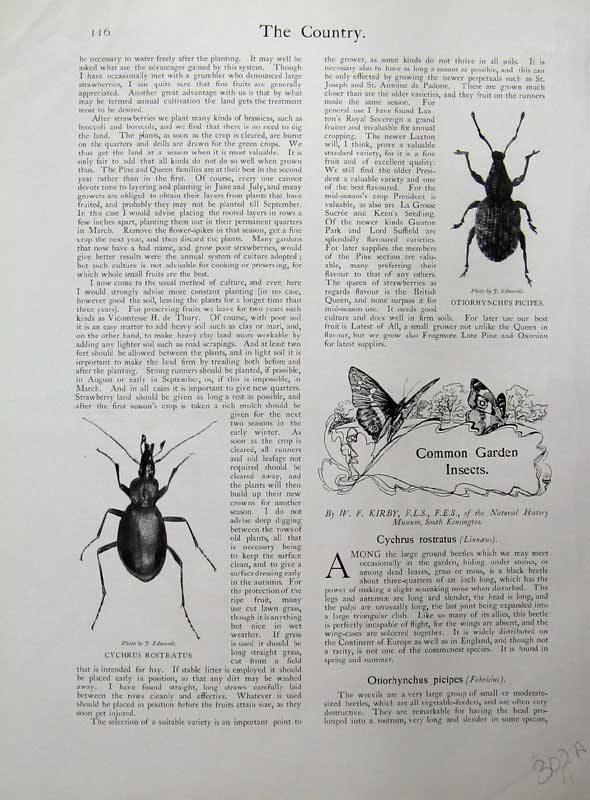 Old-Antique-Print-1902-Garden-Insects-Rostratus-Birds-Blue-Tit-Game-Fowl-20th