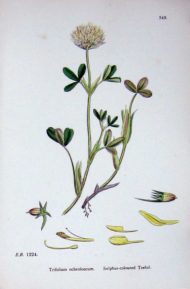 Old-Antique-Print-Botany-Plants-C1902-Sulphur-Coloured-Trefoil-Trifolium-20th