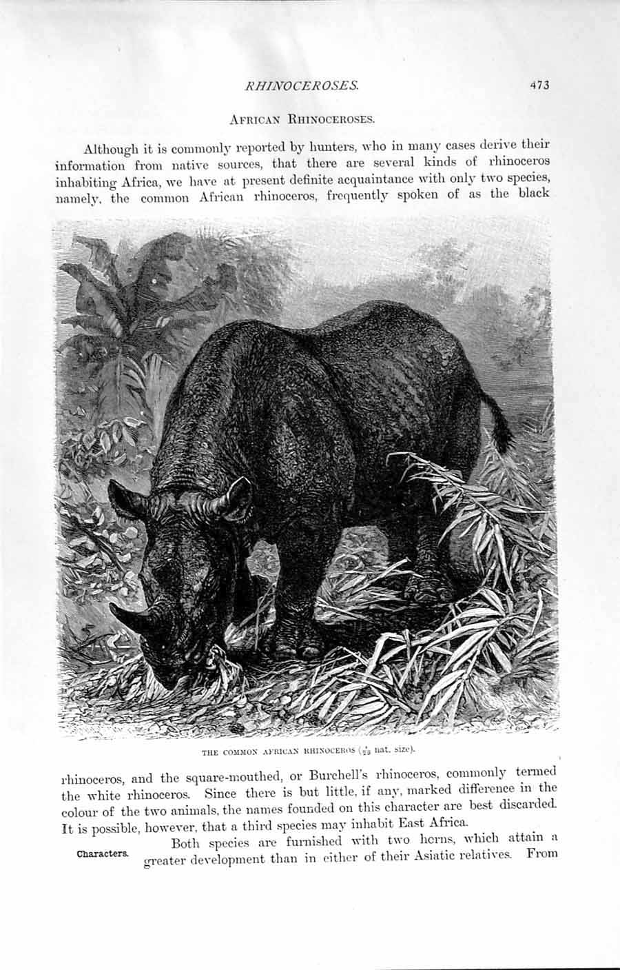 Original Old Antique Print Natural History 1894 Head Common African Rhinoceros