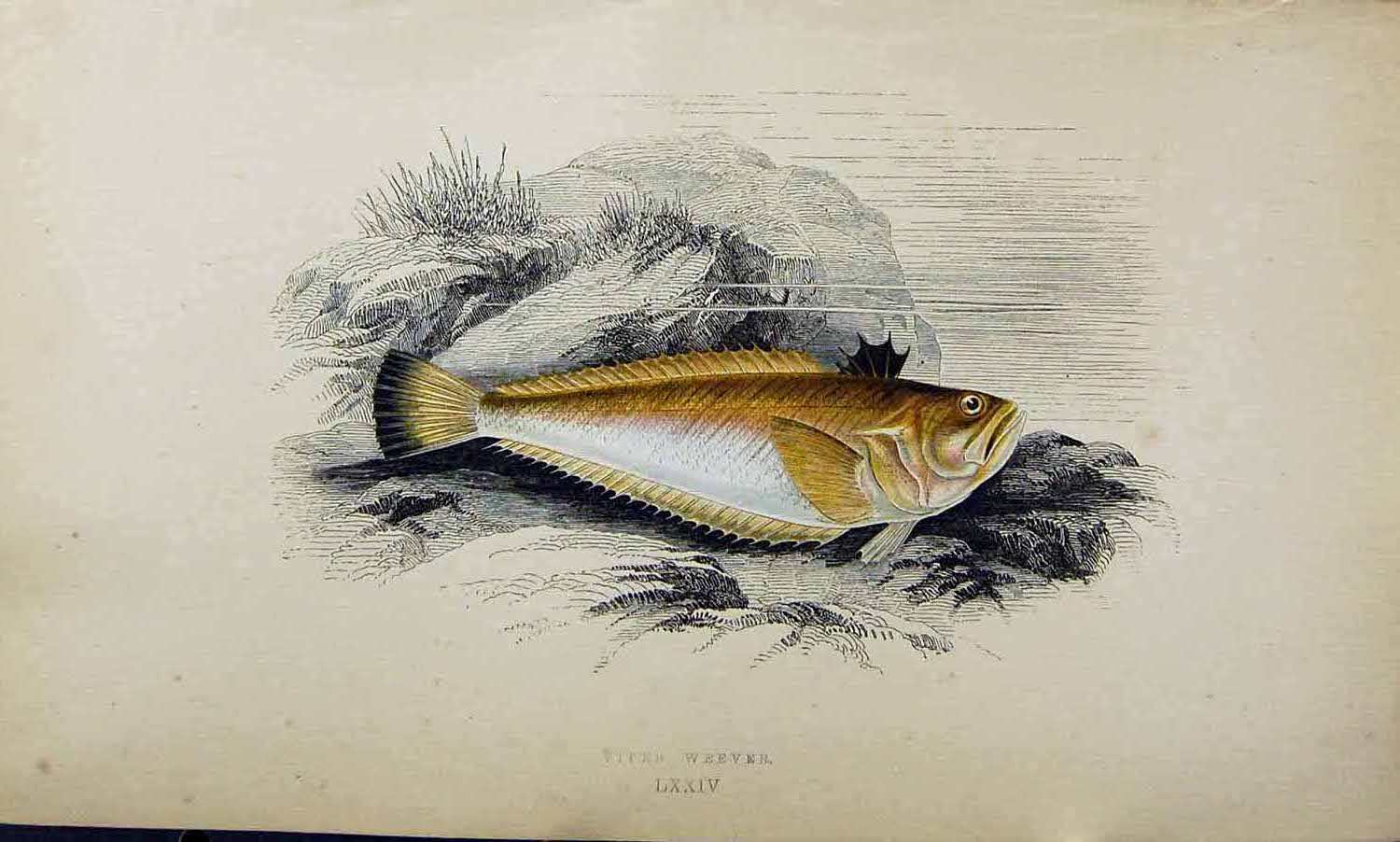 Original-Old-Antique-Print-Viper-Weever-Couch-Colour-British-Fish-1863-19th