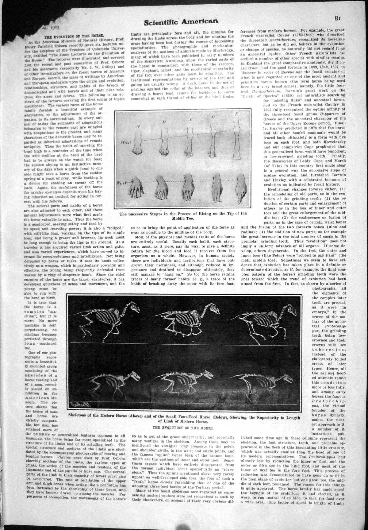 Old-1905-Scientific-American-Evolution-Horse-Rising-Middle-Toe-Interr-20th